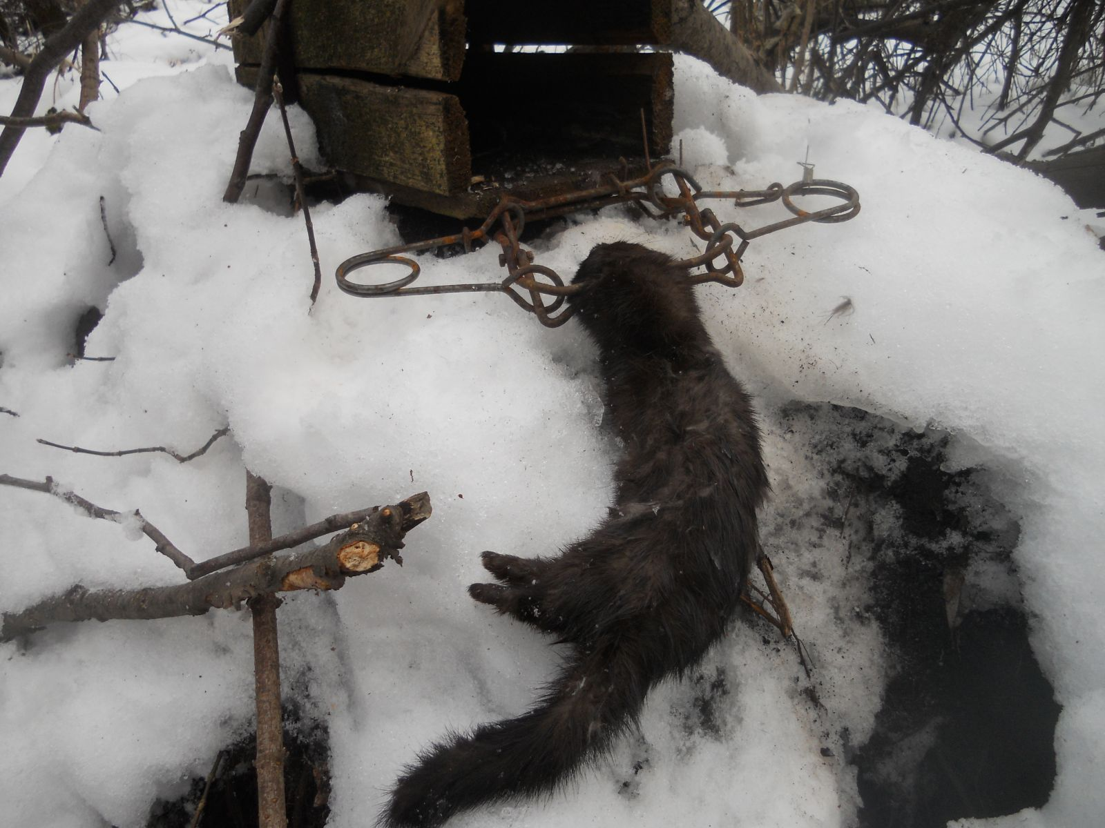 Ловля выдры на приманку