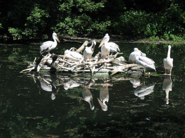 Пеликаны на курорте.