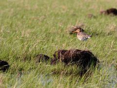 Весенний веретенник на охране территории