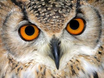 Прикрепленное изображение: сова.jpg