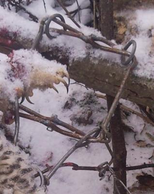 Прикрепленное изображение: когти совы.jpg