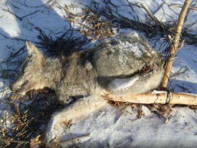 Прикрепленное изображение: Волчица.jpg