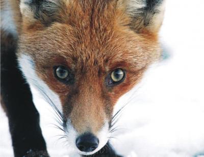 Прикрепленное изображение: fox21.jpg
