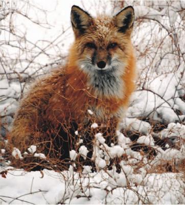 Прикрепленное изображение: fox22.jpg