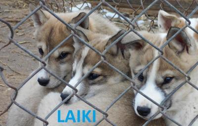 Прикрепленное изображение: LAIKI_3.JPG