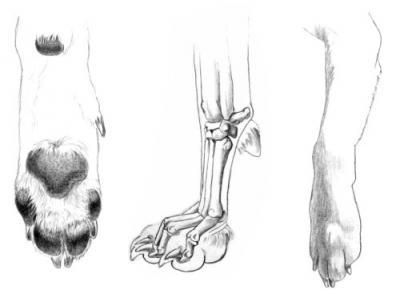 Прикрепленное изображение: canine-front-paw.jpg