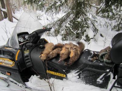 Прикрепленное изображение: куницы на снегоходе.JPG
