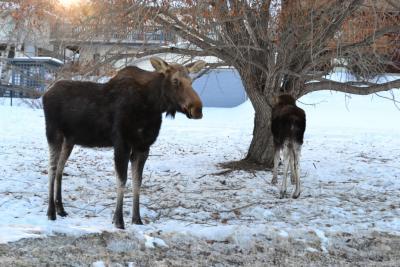 Прикрепленное изображение: Moose2.JPG