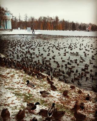 Прикрепленное изображение: утки в парке.jpg