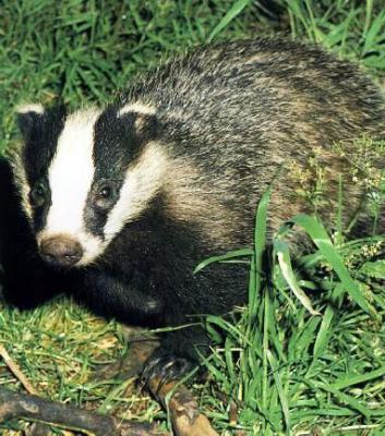 Прикрепленное изображение: badger.jpg