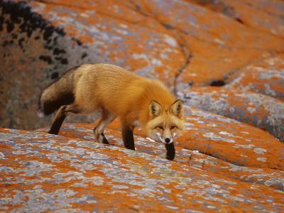 Прикрепленное изображение: foxes-13.jpg